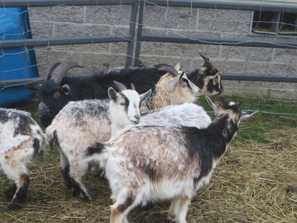 Lots of horns on these goats.  We hope that when it comes time to rehome that people can be understanding and forgiving to the animals for their horns still being on.  They are very sweet.